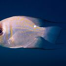 Threadfin Pearl Perch, Ningaloo Reef by Erik Schlogl