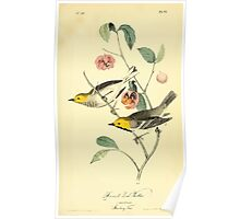 James Audubon Vector Rebuild - The Birds of America - From Drawings Made in the United States and Their Territories V 1-7 1840 - Hermit Wood Warbler Poster