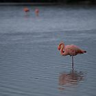 Flamingos - Ecuador by Lisa Germany