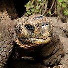Giant Land Tortoise - Ecuador by Lisa Germany