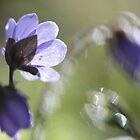 Wild Hepatica flower by Remo Savisaar