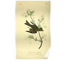 James Audubon Vector Rebuild - The Birds of America - From Drawings Made in the United States and Their Territories V 1-7 1840 - Wood Pewee Flycacther Poster