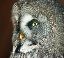Great Grey Owl by peterwey