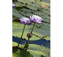 Lilac Clan Photographic Print