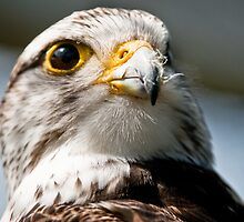 Booted Eagle by peterwey