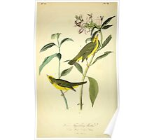 James Audubon Vector Rebuild - The Birds of America - From Drawings Made in the United States and Their Territories V 1-7 1840 - Hibsen's Flycatching Warbler Poster