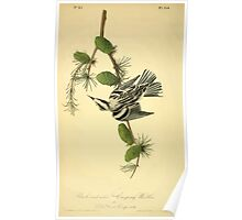 James Audubon Vector Rebuild - The Birds of America - From Drawings Made in the United States and Their Territories V 1-7 1840 - Black and White Creeping Warbler Poster