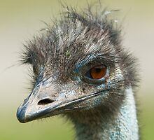 ostrich (lat. Struthio camelus) by peterwey