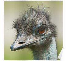 ostrich (lat. Struthio camelus) Poster
