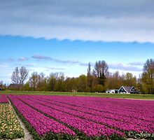 ...Tulip time in Holland : Spring.. by John44