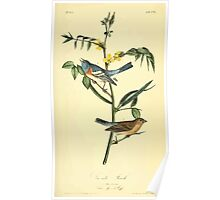 James Audubon Vector Rebuild - The Birds of America - From Drawings Made in the United States and Their Territories V 1-7 1840 - Lazuli Finch Poster