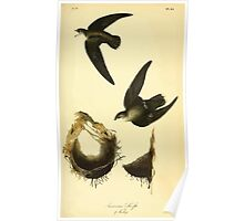 James Audubon Vector Rebuild - The Birds of America - From Drawings Made in the United States and Their Territories V 1-7 1840 - American Swift Poster