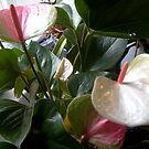 My new Anthurium by hilarydougill