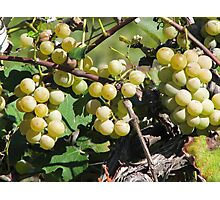 Grapes At The Winery Photographic Print