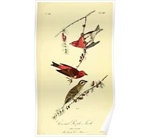 James Audubon Vector Rebuild - The Birds of America - From Drawings Made in the United States and Their Territories V 1-7 1840 - Crested Purple Finch Poster