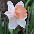 Orange and White Daffodil in the Garden by Kathleen Brant