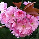 Cherry Blossom by Mike Paget
