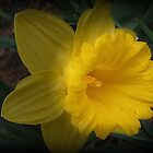 Spotlight on a Daffodil by Monnie Ryan