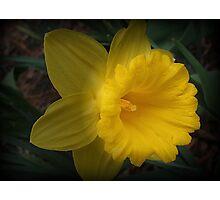 Spotlight on a Daffodil Photographic Print
