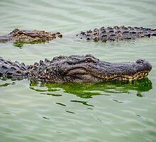Alligators by Debra Martz