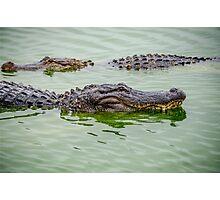 Alligators Photographic Print