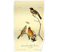James Audubon Vector Rebuild - The Birds of America - From Drawings Made in the United States and Their Territories V 1-7 1840 - Black Headed Song Grosbeak Poster
