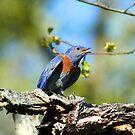 Male Western Bluebird by SKNickel