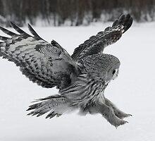 Great Grey owl hunting by wildlifephoto