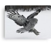 Great Grey owl hunting Canvas Print