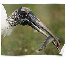 Wood Stork with Meal Poster