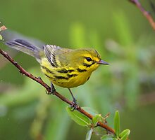 Prairie Warbler Portrait by William C. Gladish