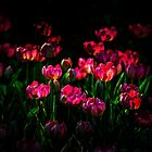 Pink tulip flowers by luckypixel