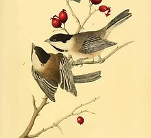 James Audubon Vector Rebuild - The Birds of America - From Drawings Made in the United States and Their Territories V 1-7 1840 - Black Cap Titmouse by wetdryvac
