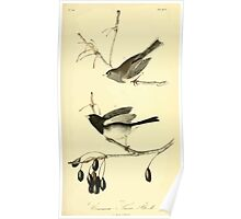 James Audubon Vector Rebuild - The Birds of America - From Drawings Made in the United States and Their Territories V 1-7 1840 - Common Snow Bird Poster