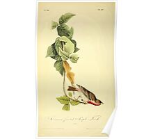 James Audubon Vector Rebuild - The Birds of America - From Drawings Made in the United States and Their Territories V 1-7 1840 - Crimson Fronted Purple Finch Poster