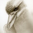 Kookaburra study by Christopher Pope