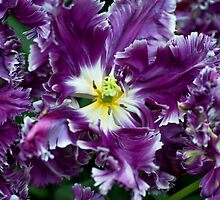 Purple Parrot Tulips of Keukenhof by JennyRainbow