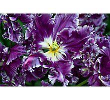 Purple Parrot Tulips of Keukenhof Photographic Print