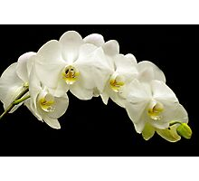 Orchids in a row Photographic Print