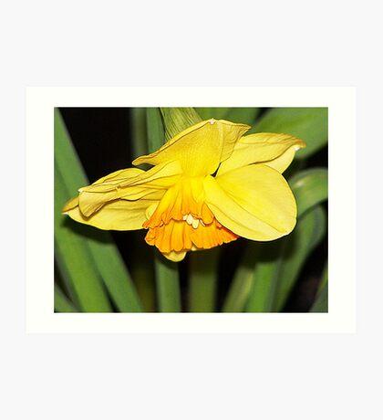 Bowing Daffodil Art Print