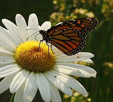 White Daisy for a Monarch by Adam Bykowski