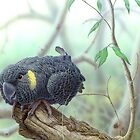 Yellow-tailed Black Cockattoo #2 by Christopher Pope