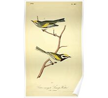 James Audubon Vector Rebuild - The Birds of America - From Drawings Made in the United States and Their Territories V 1-7 1840 - Golden Winged Swamp Warbler Poster
