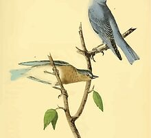 James Audubon Vector Rebuild - The Birds of America - From Drawings Made in the United States and Their Territories V 1-7 1840 - Arctic Blue Bird by wetdryvac
