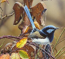 Superb Blue Wren by Christopher Pope
