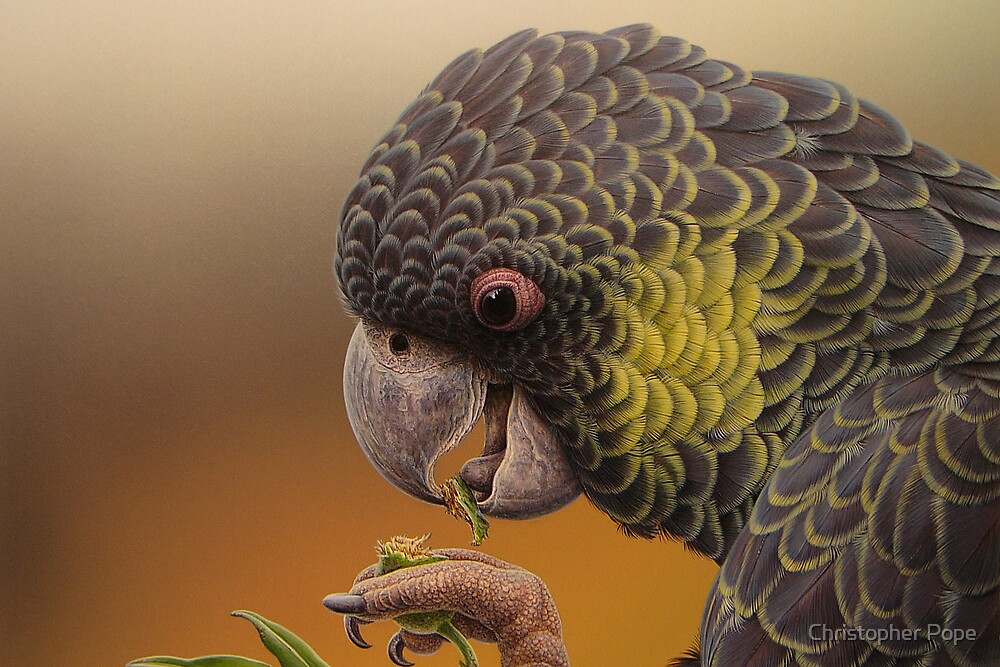 Yellow-tailed Black Cockattoo #3 by Christopher Pope