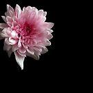 Chrysanthemum by Sarah Couzens