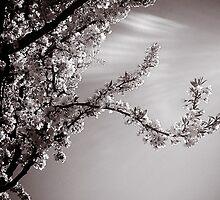 Sunburst by ShutterbugCel