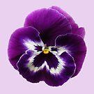 Purple Pansy by Sarah Couzens