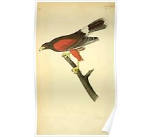 James Audubon Vector Rebuild - The Birds of America - From Drawings Made in the United States and Their Territories V 1-7 1840 - Harris Hawk Poster